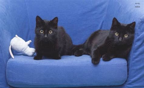 black cat superstition black cats don t have anything to do with bad luck barnorama