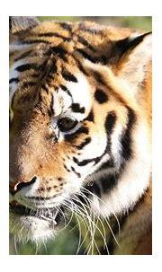 Wallpaper tiger, big cat, glance, predator, animal hd ...