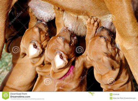 puppies feeding stock photo image  litter feed doggy