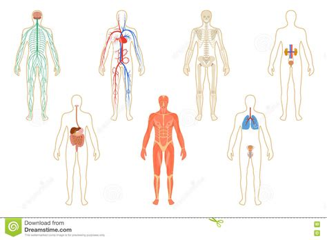 Set Of Human Organs And Systems Stock Vector
