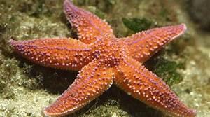 Etoile De Mer Dofus : etoile de mer commune aquarium la rochelle site officiel ~ Medecine-chirurgie-esthetiques.com Avis de Voitures