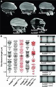 A295s Actin Promotes Indirect Flight Muscle