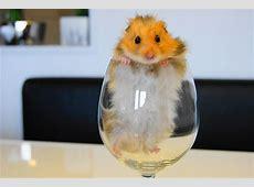 Teddyhamster Foto & Bild tiere, hamster, natur Bilder