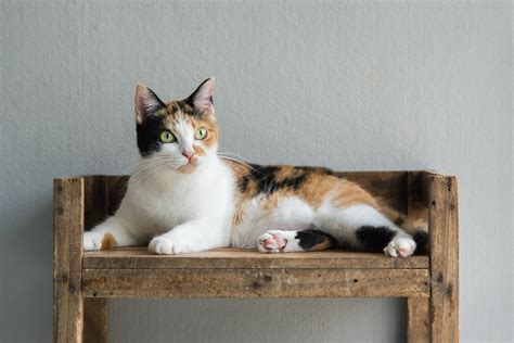 cat calico cats names female why cute colors wideopenpets chromosome always adobestock cdn0 furry human fur dog they dogs chromosomes