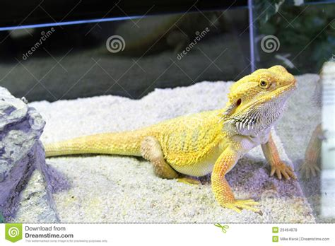what kind of heat l for bearded dragon bearded dragon royalty free stock photos image 23464878