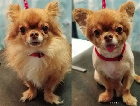 long hair chihuahua haircut 10 best long haired chihuahua haircuts page 2 the paws