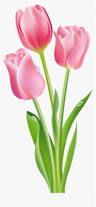 Tulip Clipart Flower Transparent Kindpng