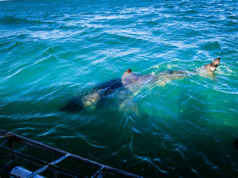 bocca di gabbia gabbia della grande testa dello squalo bianco primo