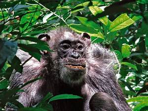Wild chimpanzees have surprisingly long life spans  Wild