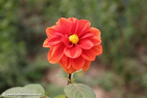 www picture flower dahlia picture flower pictures 3764