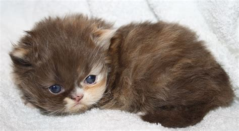 Kittens For Sale by Upcoming Kittens For Sale Visit Our Website At