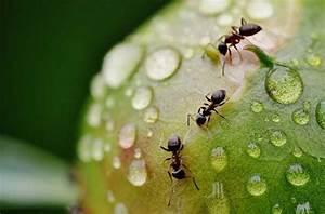Ameisen Im Garten : ameisen im rasen vertreiben retten sie ihren rasen vor insekten ~ Frokenaadalensverden.com Haus und Dekorationen