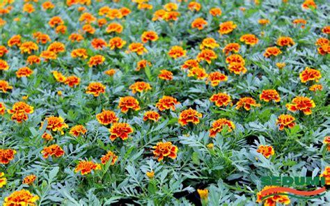 Vasaras puķes | Meža un dārza tehnika, dārza preces ...