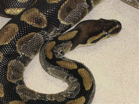 snake skin shedding frequency diagnosing and treating dysecdysis aka retained shed