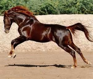 Liver Chestnut Stallion Horse