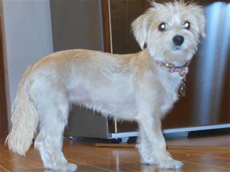 mauzer dog maltese miniature schnauzer info