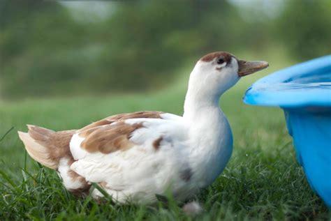 call color call ducks colours