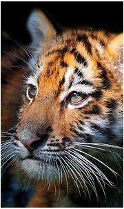 Baby Siberian Tiger. Photo by Jongsung Ryu -- National ...