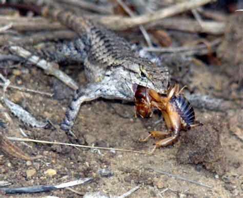 Backyard Reptiles - lizards in your yard are a thing orange county register