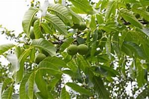 Alten Walnussbaum Schneiden : walnussbaum walnuss pflanzen pflege und schneiden ~ Lizthompson.info Haus und Dekorationen