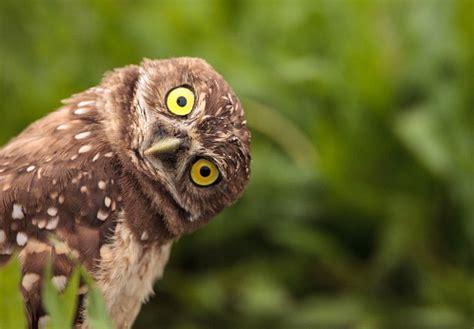 funny burrowing owl athene cunicularia stock photo