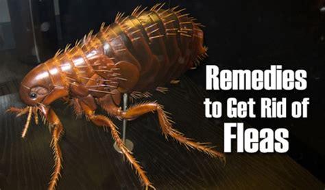 home remedies   rid  flea infestation
