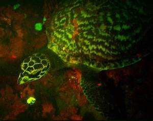 Rare fluorescent sea turtle glows red and green for Glowing sea turtle