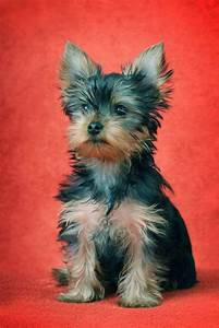 Yorkie Names: Cute Male & Female Yorkshire Terrier Names