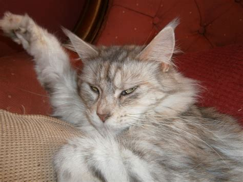 maine coons for adoption thetford norfolk pets4homes