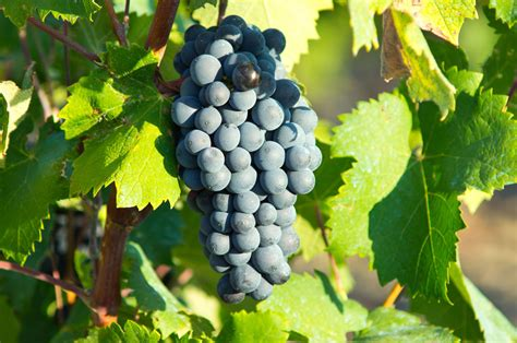What Are The Best Types Of Grapes For Red Wine Kazzit