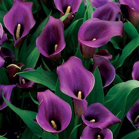 purple calla 761 best images about lilies for m on pinterest asiatic lilies auction and day lilies