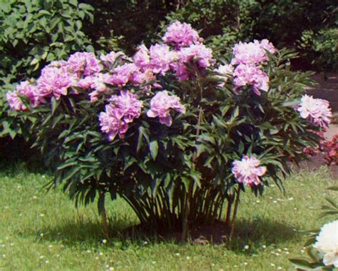 do peonies like sun or shade 25 best ideas about peony bush on pinterest peony plant peonies garden and peony care tips