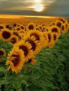 Asche Gut Für Pflanzen : sonnenblumen und ihr dekorativer wert sunflower pinterest sonnenblumen blumen und ~ Markanthonyermac.com Haus und Dekorationen