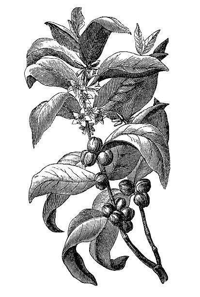 20:05 best unintentional asmr рекомендовано вам. Coffee plant with coffee leaf,berry,bean,coffee fruit, seed.#coffee #fruit #leafberrybeancoffee ...