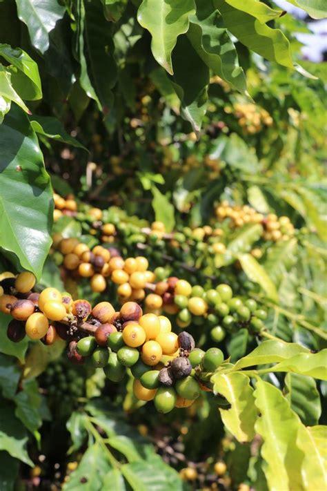 .coffee plantation, hawaii su tripadvisor: Kauai Coffee Plantation Hours
