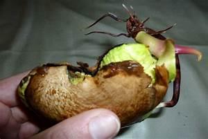 Planter Noyau Mangue : mangue archives soanity ~ Melissatoandfro.com Idées de Décoration