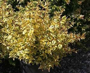 Abelia Grandiflora Kaleidoscope : tom plant guide ~ Melissatoandfro.com Idées de Décoration