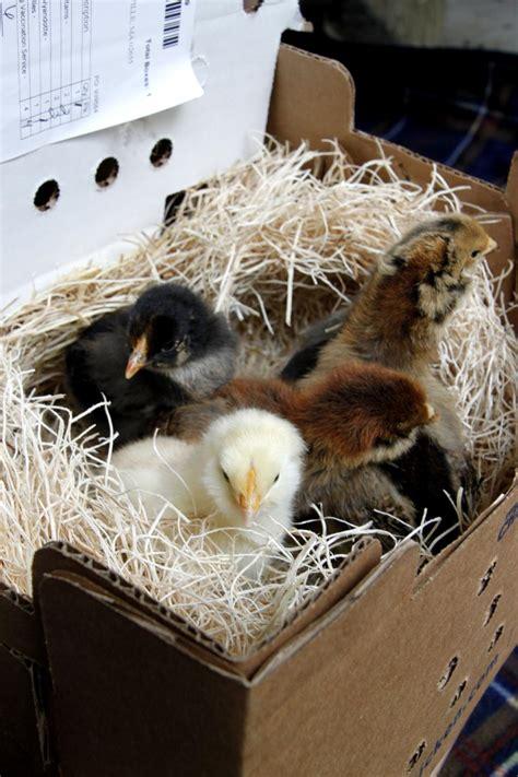 set   brooder  baby chicks hgtv