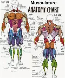 Human Anatomy And Physiology Of Muscles Online On
