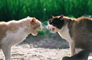 fighting cat 10 tips to prevent cat fights recognize signs stop cat