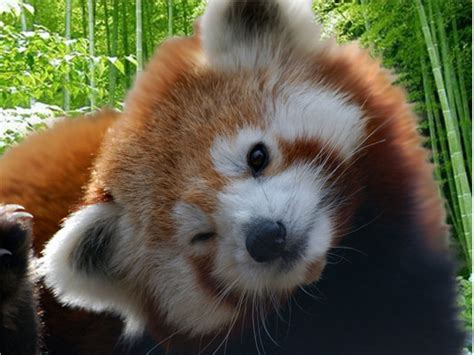 Red Panda The Nature Of The World