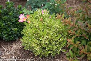 Wedding ringr boxwood buxus microphylla var koreana for Wedding ring boxwood