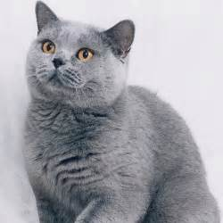 cats with blue how to id your cat s coat color a guide cats