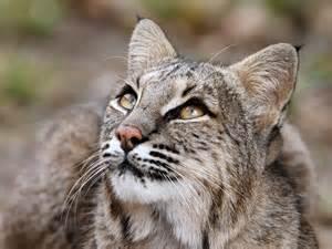 bob cat bobcat big cats