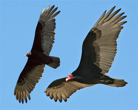 Turkey Vulture Images Turkey Vulture Morro Strand State Park Morro Bay