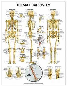 Download Anatomical Chart Of The Skeletal System