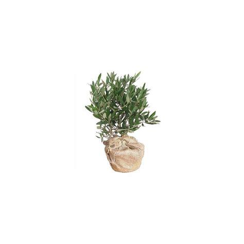 olivier en pot cadeau 50cm gt gt livraison express plantes et jardins