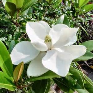 magnolia nc flowers