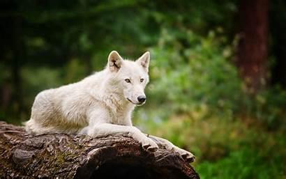 Wolf Wolves Wallpapers Arctic Screensavers Backgrounds Desktop