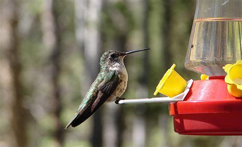 hummingbird nectar recipe welcome wildlife